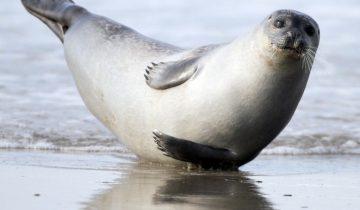 Ручной тюлень