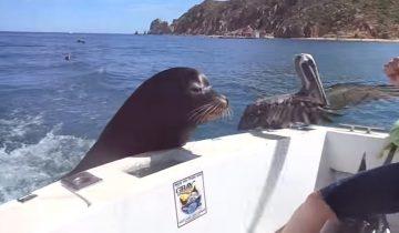 Морской лев-попрошайка: умилительные кадры!