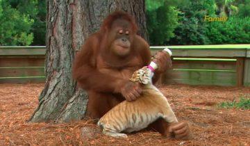 Орангутан «усыновил» тигрят: посмотрите, как трогательно он ухаживает за детками!
