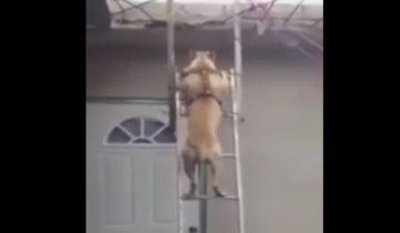 Это что-то невероятное: пес спустился с лестницы как человек!