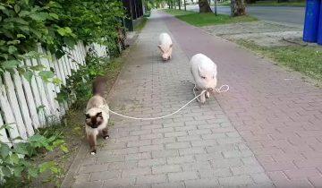 Свинья выгуливает кота на поводке: хит интернета