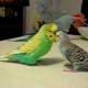 Разговор трех попугаев: интересно, о чем они общаются?