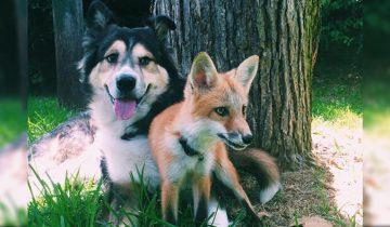 Лисичка подружилась с собакой: посмотрите, как им хорошо вместе!