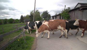 После 6 месяцев в помещении эти коровы видят траву!