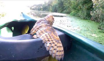 Спасение утопающего: сова чуть не погибла, застряв в зарослях ежевики