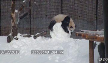 Панда подружилась со снеговиком: чем это закончилось?