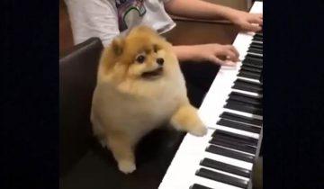 Четвероногий музыкант: померанский шпиц играет на фортепиано