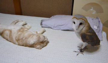 Первая встреча кота и совы: знакомство в домашних условиях