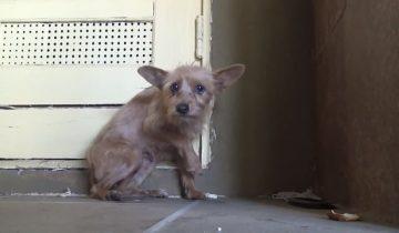 Эта собачка умирала от голода, но от страха не подпускала к себе людей…