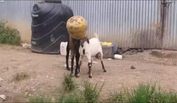 Прохожий спас двух козлят, которые умудрились встрять головами в один бидон
