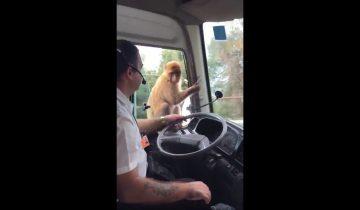 Хитрая обезьянка стащила обед у водителя автобуса
