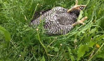 Лежащая в траве курица собрала почти 4 миллиона просмотров
