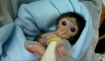 Милая семимесячная обезьянка ест молочко из бутылочки