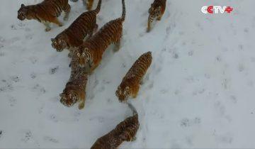 Хищные тигры открыли охоту на «электронную птицу»