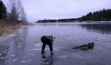 Героическое спасение лося из ледяной воды
