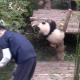 Панда, которая любит обниматься, стала звездой интернета