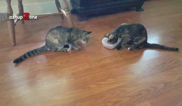Котики, которые не хотят делиться едой: видео для поднятия настроения