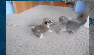 Настоящая схватка титанов: котенок дерется со щенком
