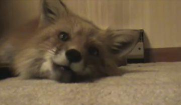 А вы знаете, как говорят лисы? Это нужно услышать!