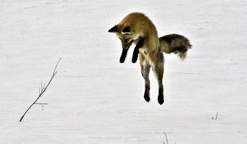 Как лиса ловит мышей в глубоком снегу: вот это ловкость!