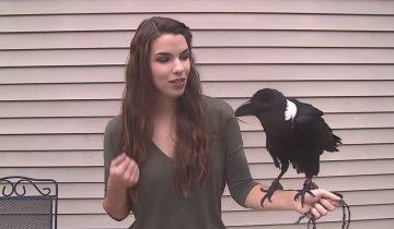 Говорящая ворона: какая смекалистая птица