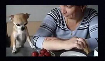 Чихуахуа выпрашивает клубнику: ну как ее не угостить?