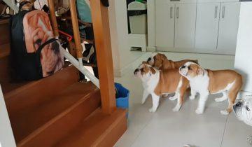 Посмотрите, как бульдоги реагируют на изображение собаки