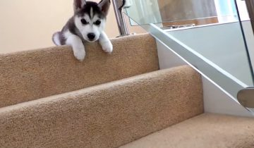 Первые шаги по ступенькам: щенок хаски собрал 2,6 миллиона просмотров