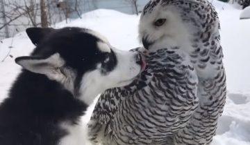 Щенок хаски завел дружбу с совой: они целуются!