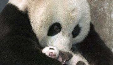 Панда впервые встречается со своим малышом: умилительные кадры