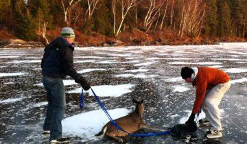 Олень, попавший в ловушку на озере, спасен!