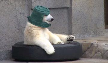 Детеныш белого медведя носит старое ведро вместо шлема