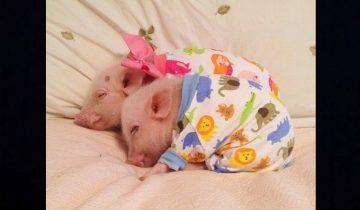 Мини-пиги оккупировали кровать и покорили интернет