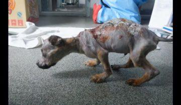 Этого щенка собственный хозяин обварил кипятком и выкинул из окна…
