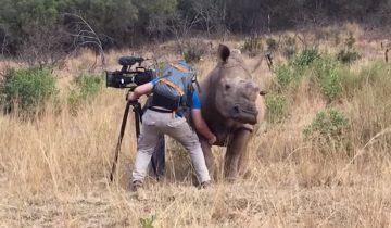 Носорогу чешут живот: видео стало хитом