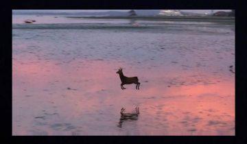 Олень, весело прыгающий по морскому берегу, взорвал сеть