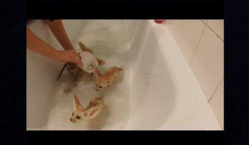 Крошечные лисята впервые принимают ванну: 7,4 млн просмотров