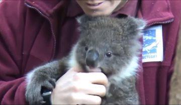 Кто еще так любит обнимашки, как коала?
