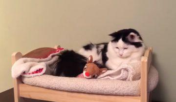 Посмотрите, как эта кошечка укладывается в настоящую кровать!
