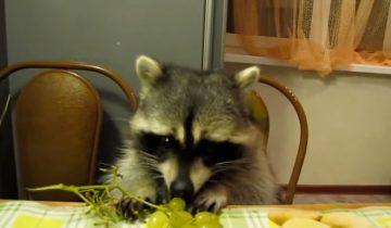 Енот сидит за столом и ест виноград