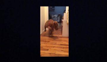 Питбуль крадется на цыпочках, чтобы не разбудить… кота