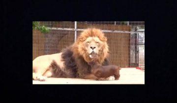 Лев и собака вместе: душевные отношения с хищником