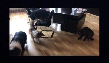 Встреча котов и собак в Рижской думе прошла в напряженной обстановке