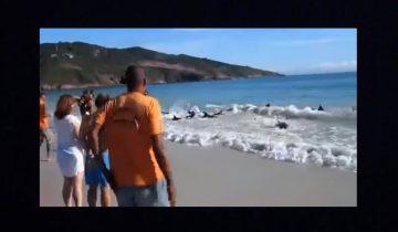 Обычный отдых на пляже превратился в массовое спасение дельфинов