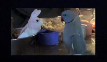 Попугаю подарили игрушку. Посмотрите, как он радуется новому другу!