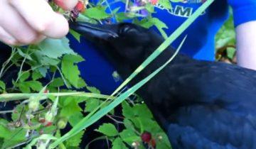 Спасенные воронята учатся собирать ягоды