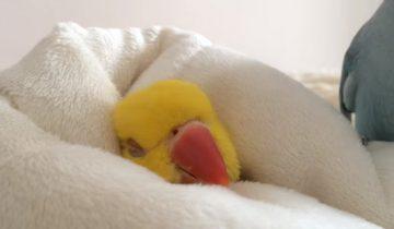 Как хорошо в постельке! Соня-попугай не хочет вставать