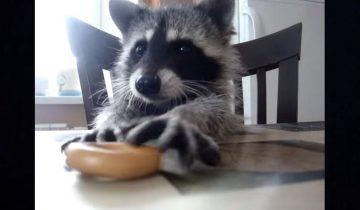 Крошка-енот решил пообедать