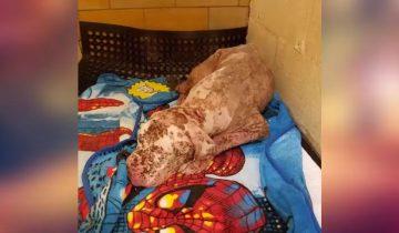 Глухого от рождения и искусанного пчелами пса хозяева бросили в клинике…