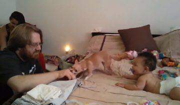 Чихуахуа для младенца — грозный страж и верный друг